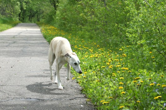 My whippet, Kahlil. Photo by author.