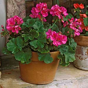 geranium-potted-plants-1lg